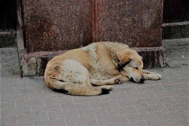 italy_dog2